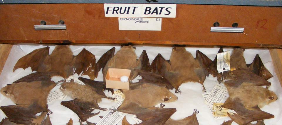 Bat Research and Zambian Bat Atlas